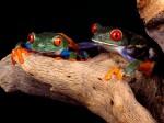 Frog Wallpaper  6