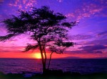 Kiawe Tree  Wailea  Maui  Hawaii