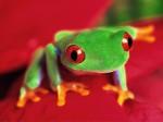 Frog Wallpaper  19