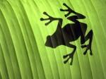 Frog Wallpaper  1