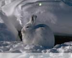 White Rabbit Snowshoe Hare Alaska